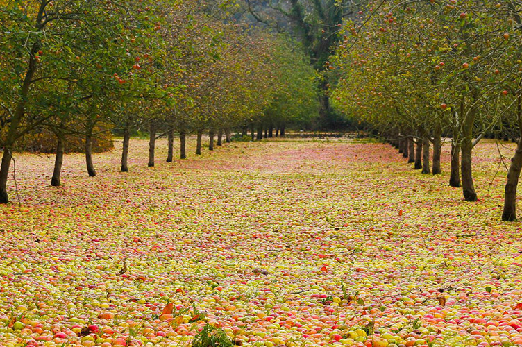 Photo of Bulmers apple orchard
